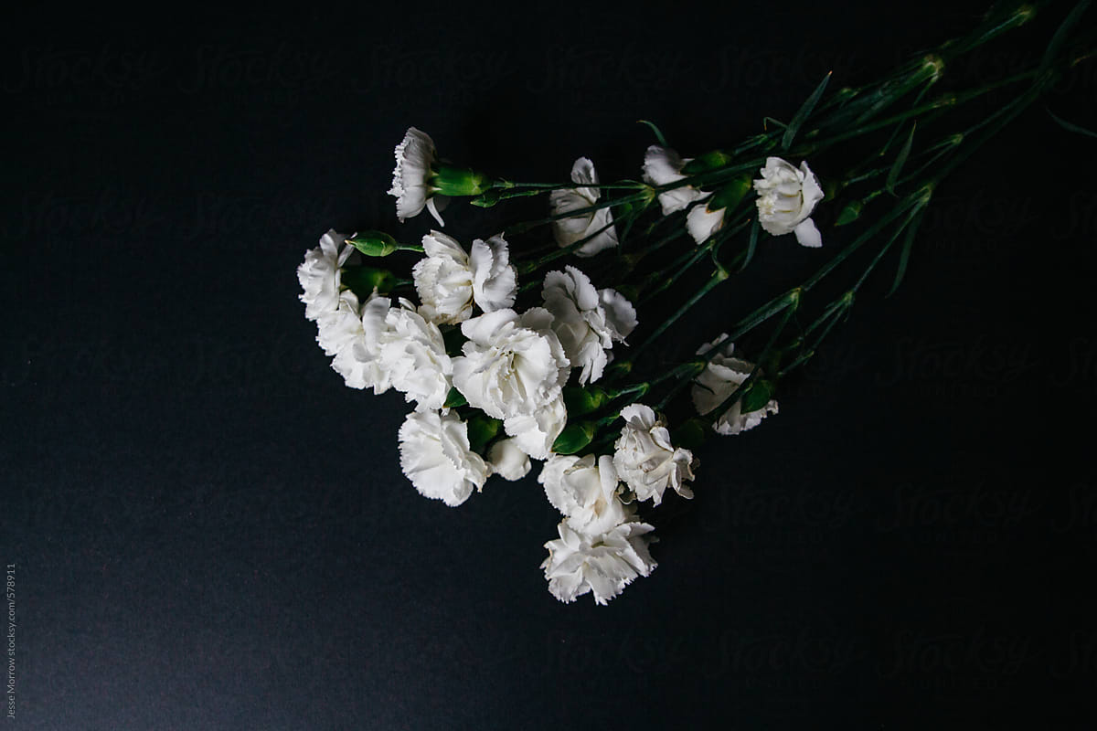 White Carnation Flower Bloom On Dark Background Stocksy United