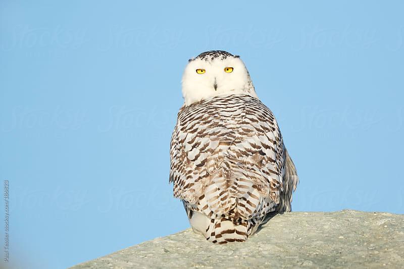 Snowy Owl by Paul Tessier for Stocksy United