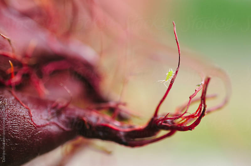 Beet Roots with Tiny Aphid (Pest) by Deirdre Malfatto for Stocksy United