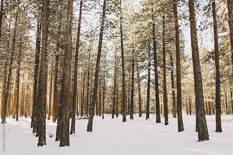 Winter Pines by Dylan M Howell Photography for Stocksy United