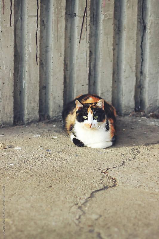 Cute cat by Jovana Rikalo for Stocksy United