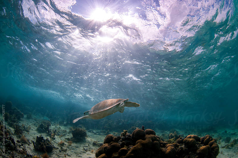 Sea turtle in shallow water over a reef by Caine Delacy for Stocksy United