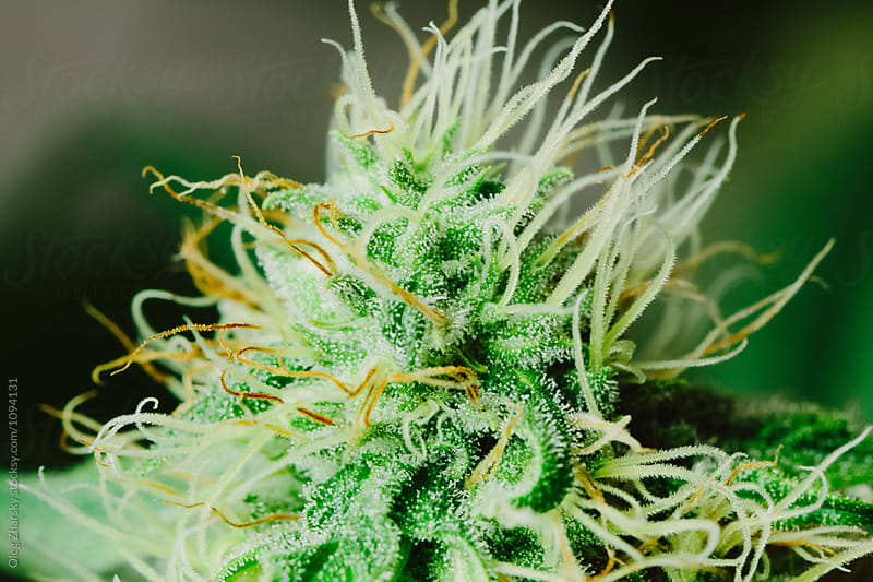 Cannabis Macro by Oleg Zharsky for Stocksy United