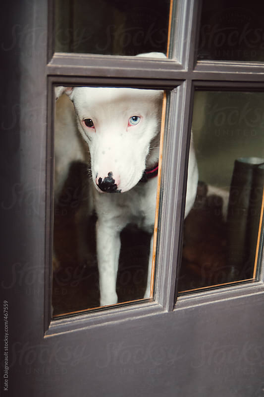 A little white puppy looks out the door, waiting for her owner. by Kate Daigneault for Stocksy United