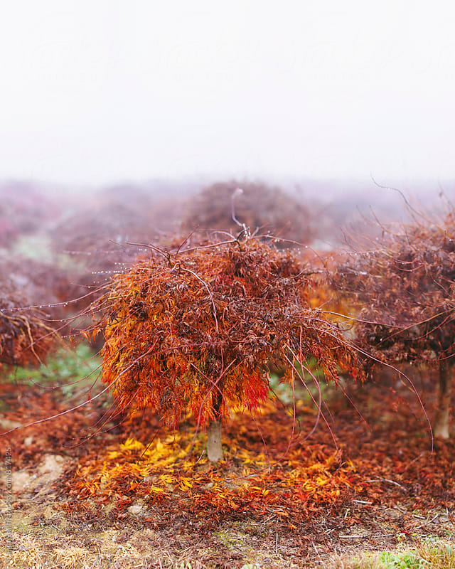 Red acer with fallen leaves carpet amongst other acer trees by Laura Stolfi for Stocksy United