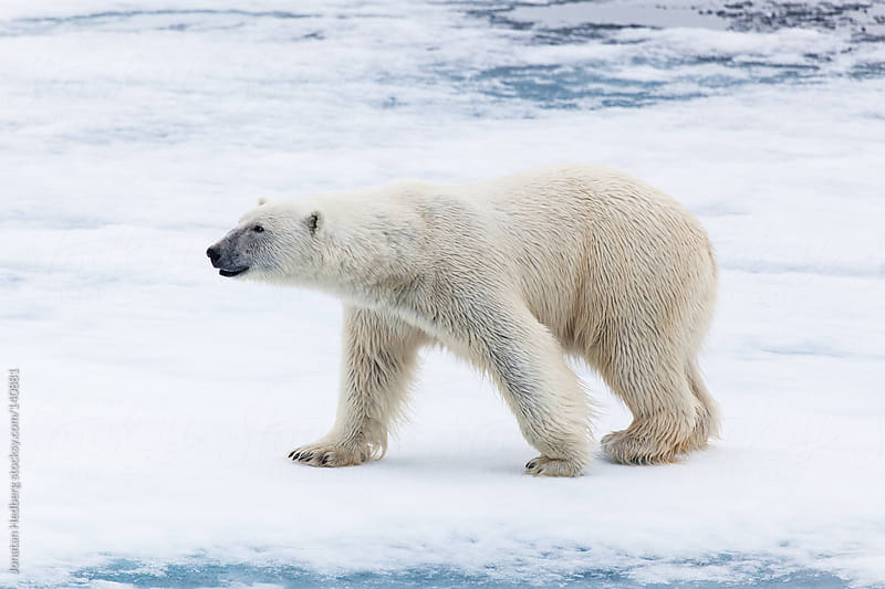 Male polar bear in Spitsbergen by Jonatan Hedberg for Stocksy United