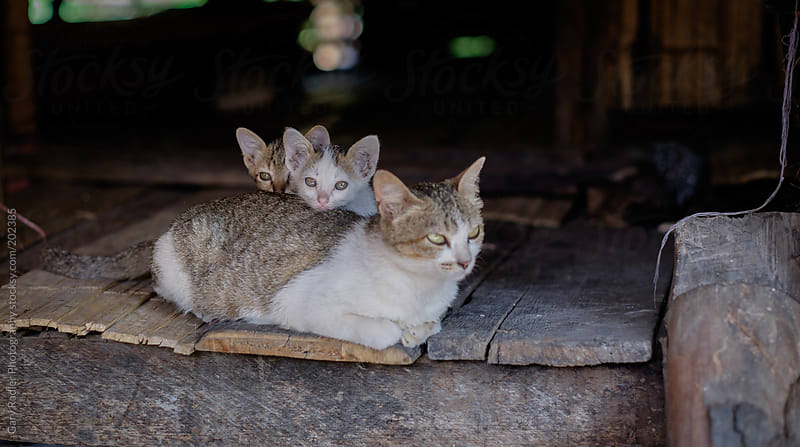Two kittens with their mum, Thailand by Gary Radler Photography for Stocksy United
