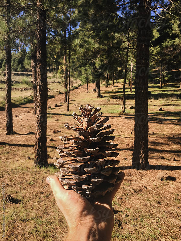 pine cone by Paul Schlemmer for Stocksy United
