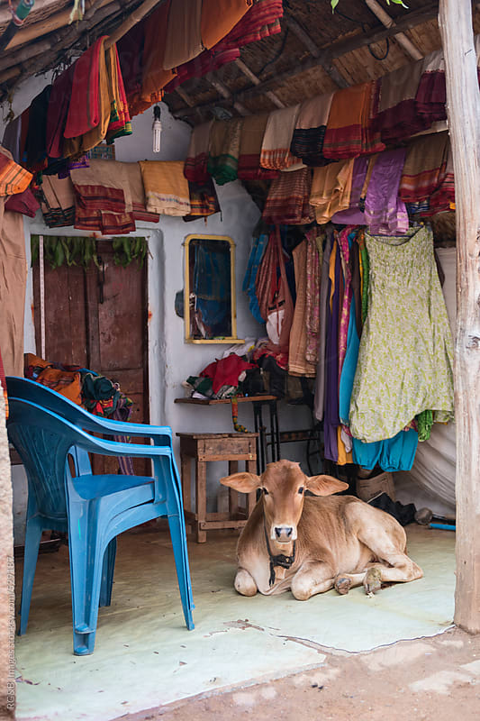 Calf resting on an Indian home veranda by RG&B Images for Stocksy United
