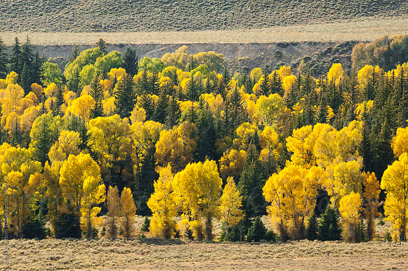 Deciduous and evergreen tree mix in Autumn by Mark Windom for Stocksy United
