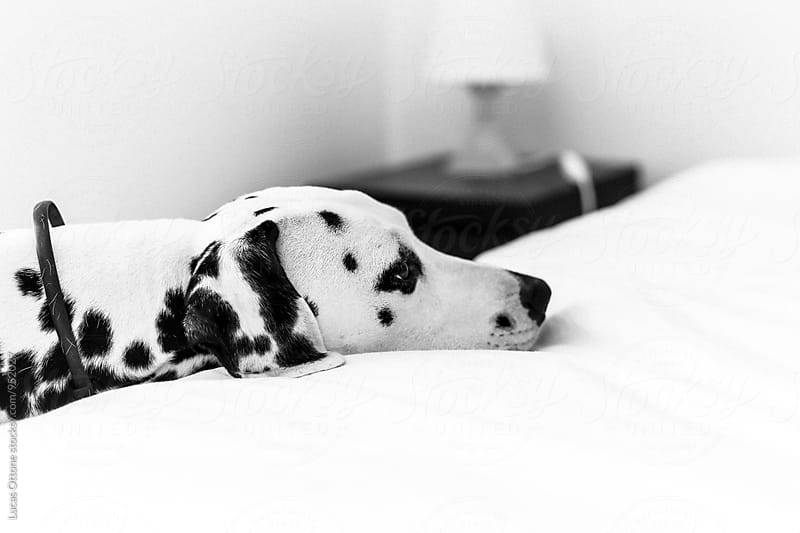 Sad dalmatian dog by Lucas Ottone for Stocksy United
