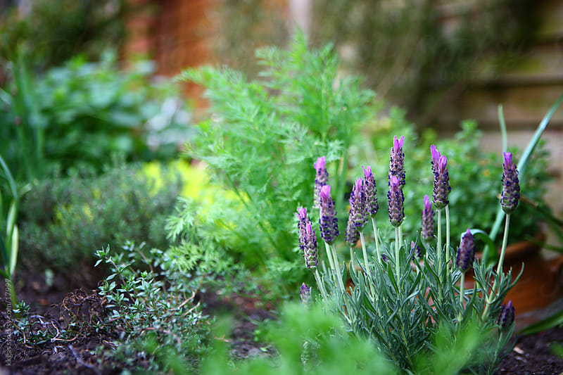 Lavender in herb garden by kkgas for Stocksy United
