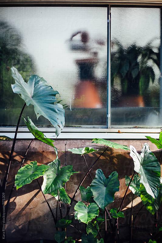 Taro plants outside greenhouse by Kara Riley for Stocksy United