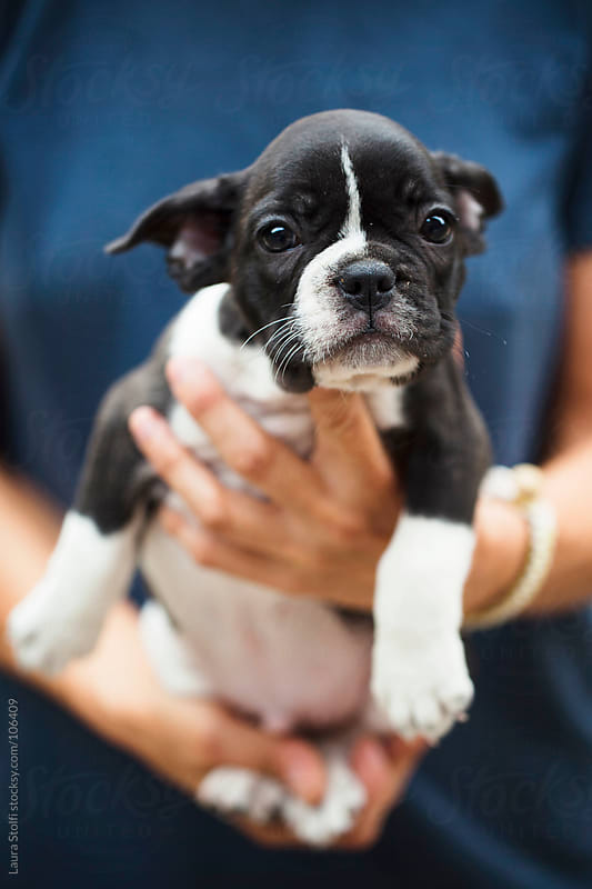 French bulldog puppy in woman's hands looks straight at the camera by Laura Stolfi for Stocksy United