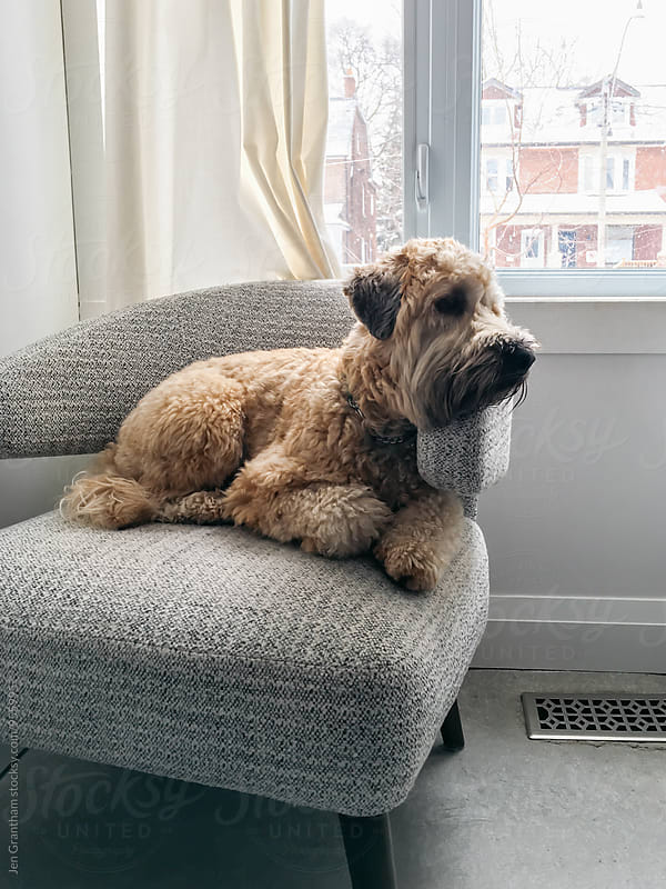 Wheaten terrier lying in an armchair by Jen Grantham for Stocksy United