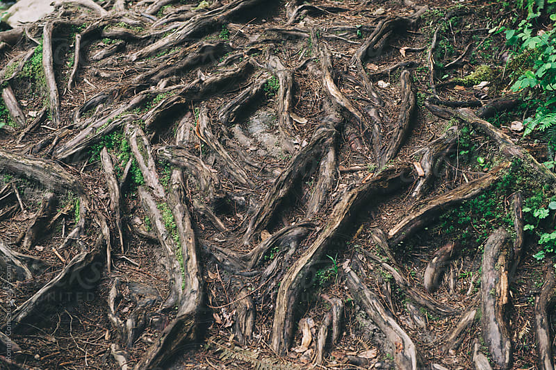 Tangle of Roots by Ronnie Comeau for Stocksy United