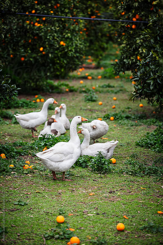 A Group of Ducks Rest in an Orange Grove by Helen Sotiriadis for Stocksy United