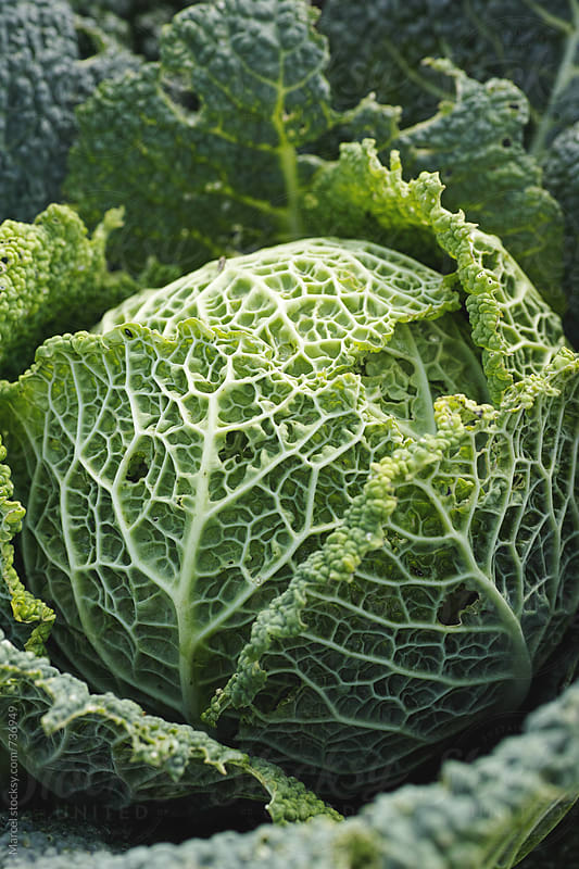 Close up of a green cabbage in a garden by Marcel for Stocksy United