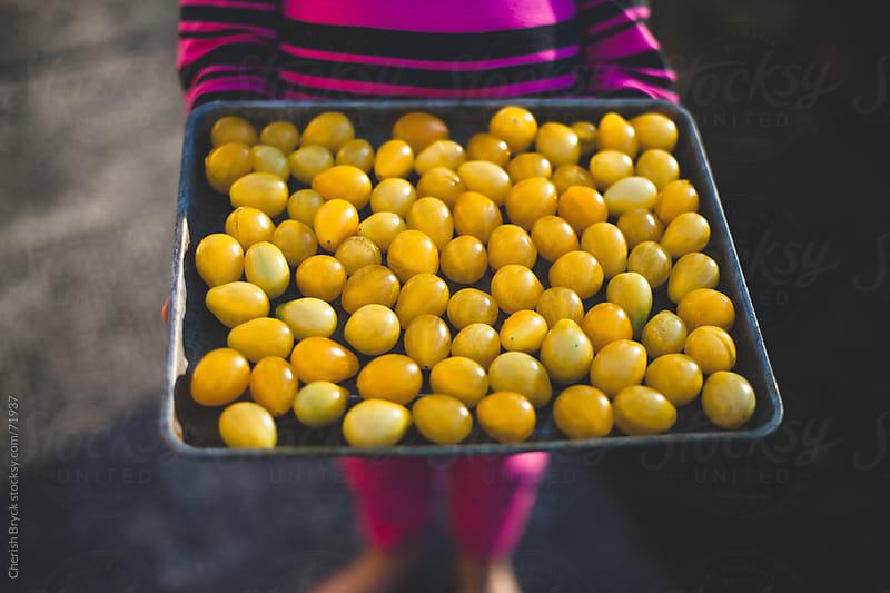 Tomato harvest. by Cherish Bryck for Stocksy United