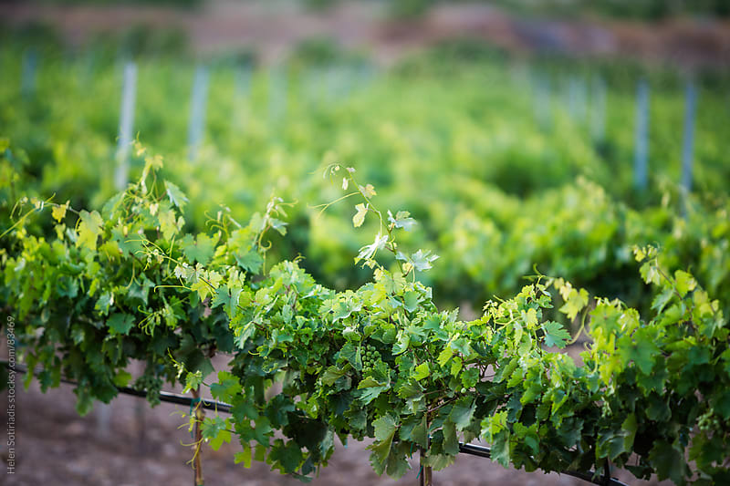 Vineyard in the early evening by Helen Sotiriadis for Stocksy United