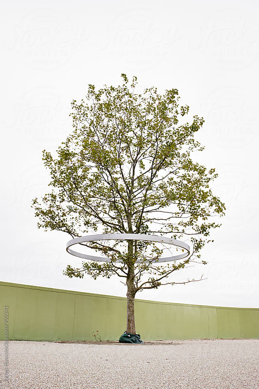 A single mature tree awaiting planting by James Ross for Stocksy United