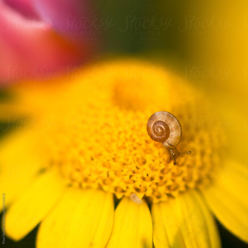 Tiny snail on daisy flower by Pixel Stories for Stocksy United