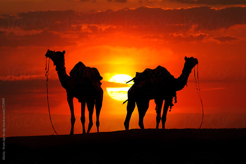 Silhouette of camels in the desert at Sunset by Leander Nardin for Stocksy United