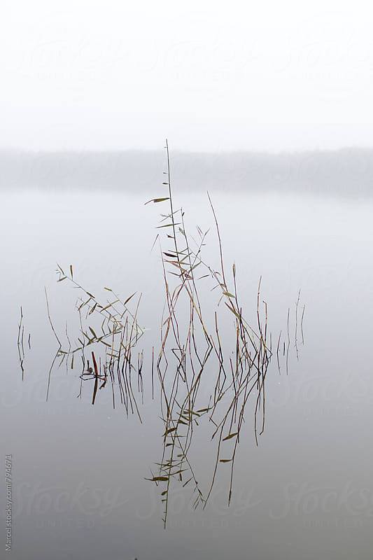 Reeds in a lake on a calm and  misty morning by Marcel for Stocksy United