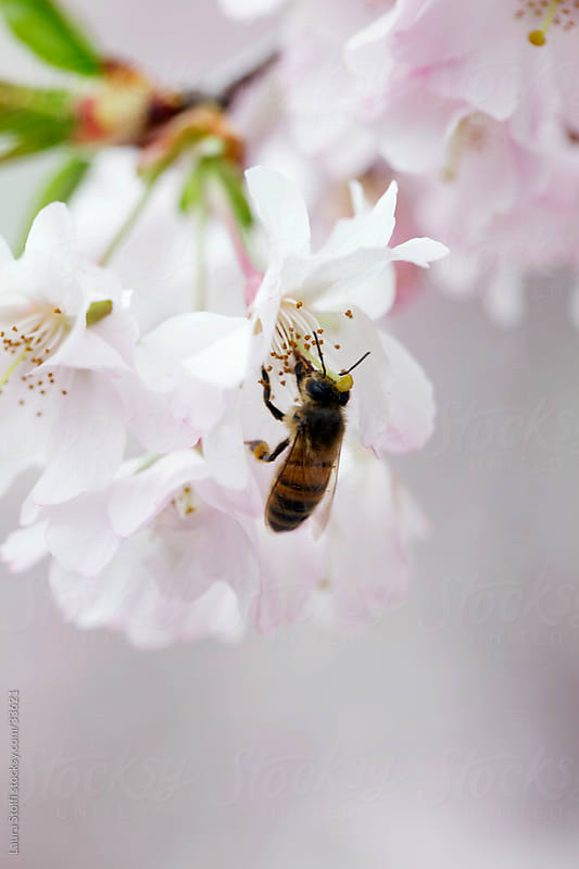 Close-up of bee pollinating cherry tree flower on the plant by Laura Stolfi for Stocksy United