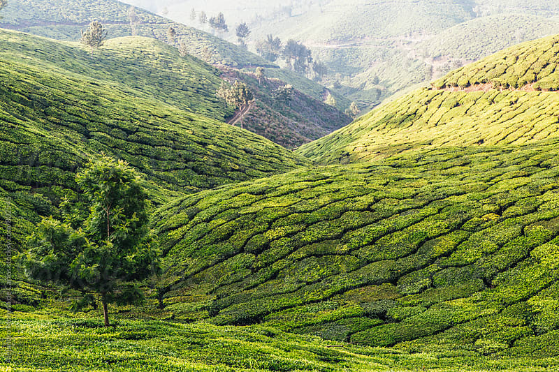 Green landscape of tea plantations and trees in a valley on a sunny day in Munnar, India by Alejandro Moreno de Carlos for Stocksy United