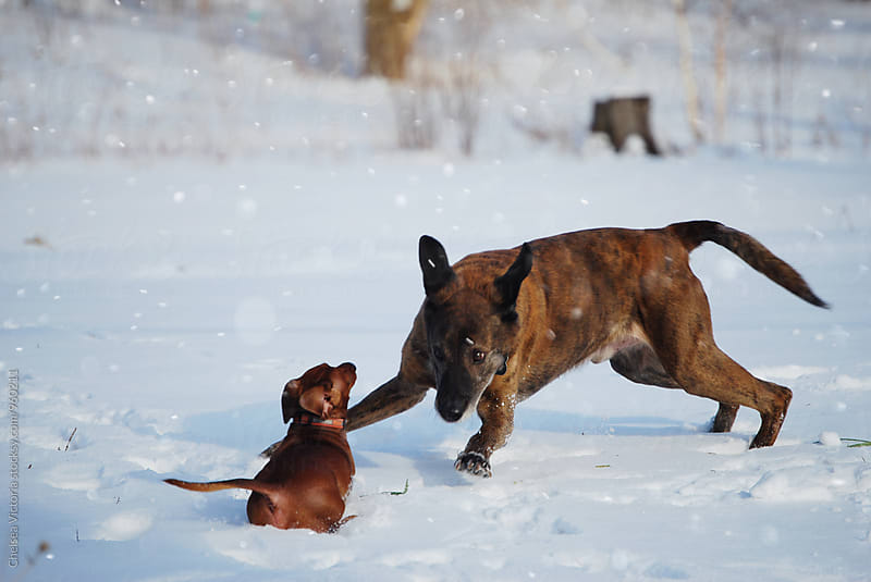 A big and little dog playing in the snow by Chelsea Victoria for Stocksy United