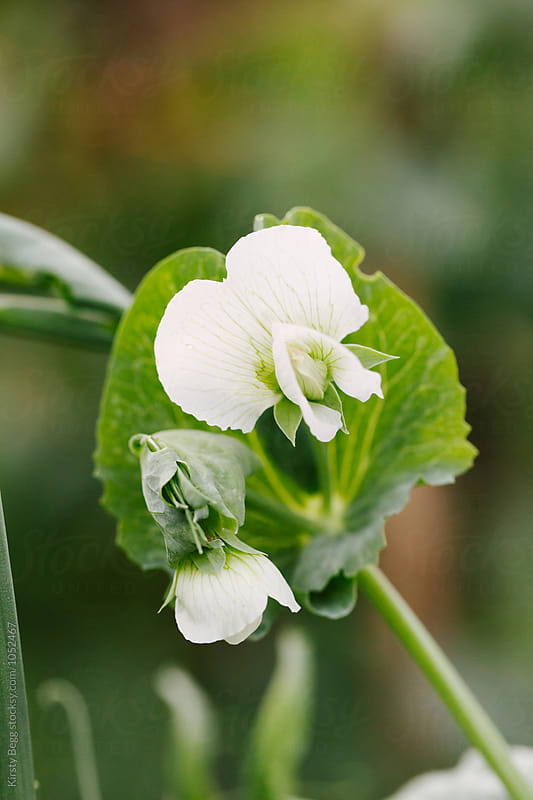 Flower blosson from managetout pea plant in the garden by Kirsty Begg for Stocksy United