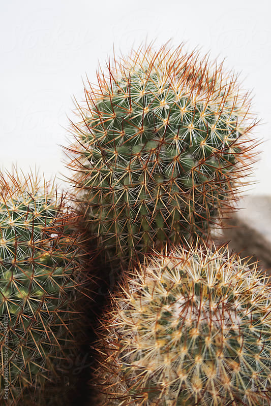 cactus closeup with white copyspace by Sonja Lekovic for Stocksy United