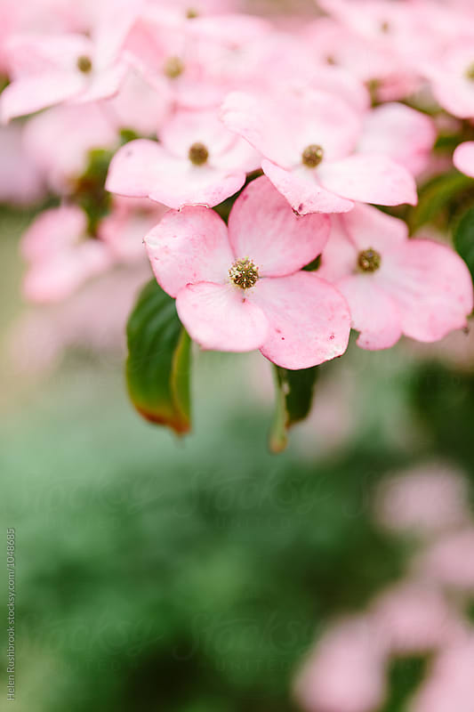 Pink flowers of Cornus Kousa by Helen Rushbrook for Stocksy United