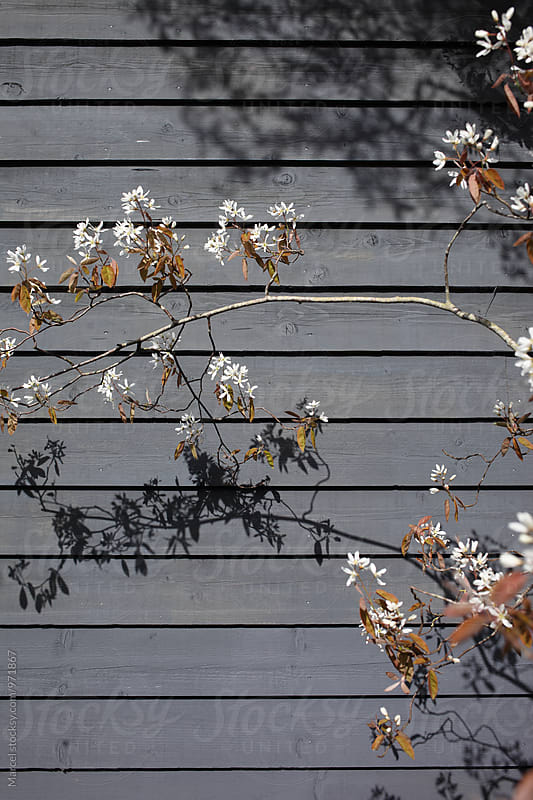 Spring blossom in front of wall by Marcel for Stocksy United