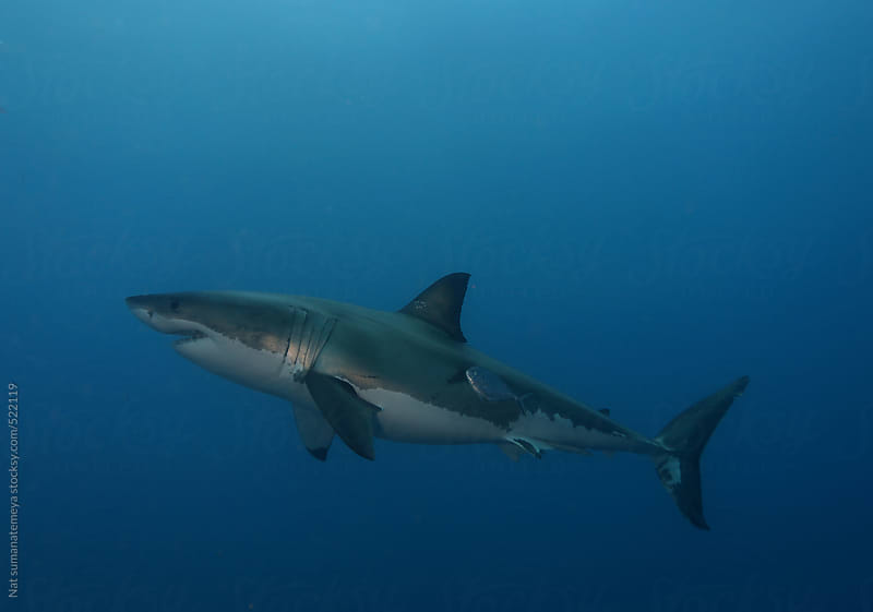 great white shark by Nat sumanatemeya for Stocksy United