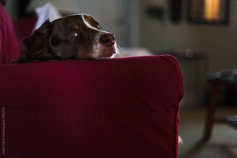 A dog rests his head on the arm of a red couch. by Holly Clark for Stocksy United