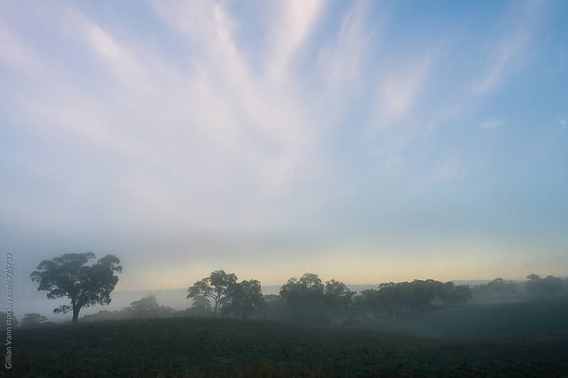 landscape of gum trees on a foggy morning by Gillian Vann for Stocksy United