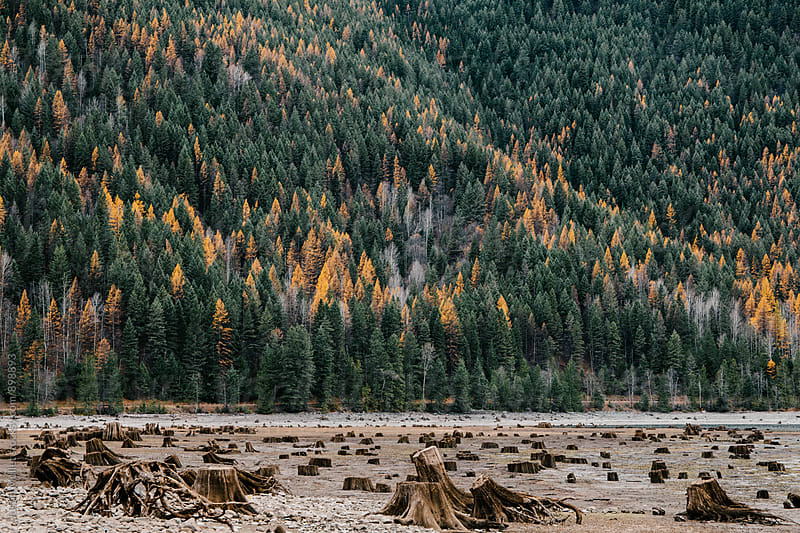 Exposed stumps on the shoreline of Sullivan Lake, Washington by Justin Mullet for Stocksy United