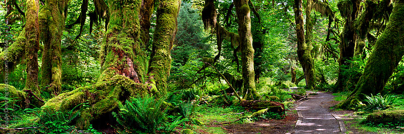 Hall of Mosses, Olympic National Park by Jason Denning for Stocksy United