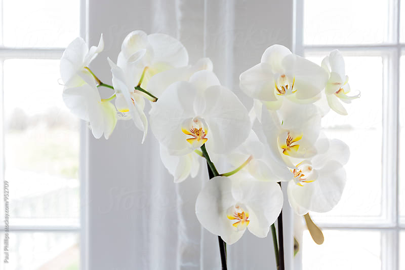 White Orchid by a white window by Paul Phillips for Stocksy United