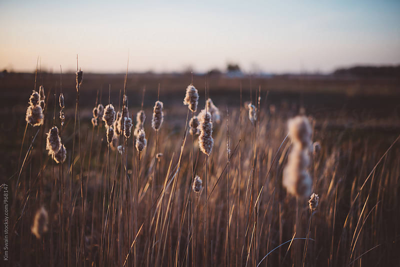 Cat tails at sunset by Kim Swain for Stocksy United