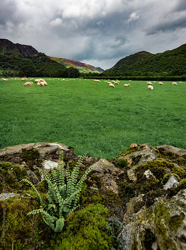 Flock of Sheep in Lake District, England by Gary Radler Photography for Stocksy United