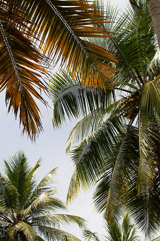 Palm leaves against the sky in Kerala by Maresa Smith for Stocksy United