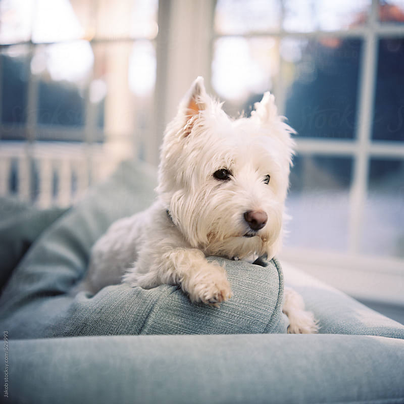 A cute white dog resting on a back of a chair by Jakob for Stocksy United
