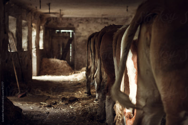 back of cows in a cowshed by Leander Nardin for Stocksy United