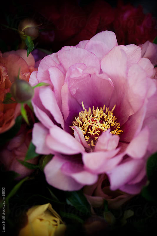 Old-rose Peony details  by Laura Stolfi for Stocksy United