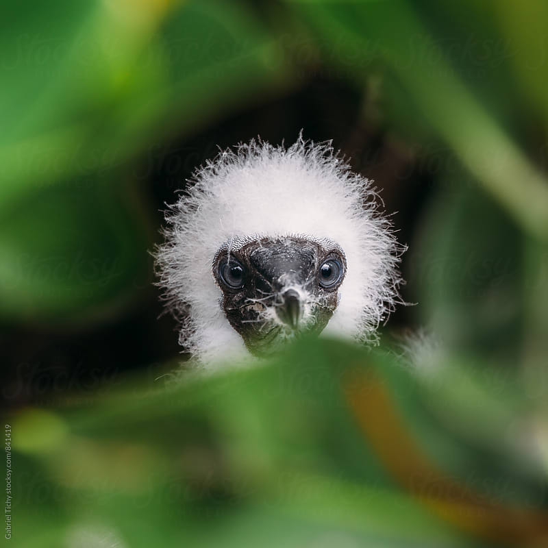 Red-footed booby chick hiding by Gabriel Tichy for Stocksy United