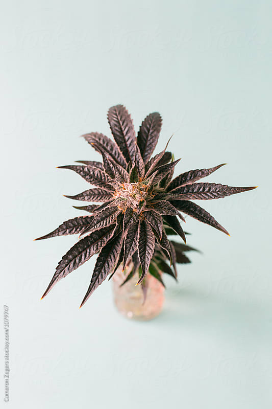 purple marijuana plant in pink jar on pastel blue background by Cameron Zegers for Stocksy United