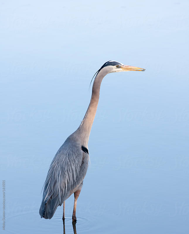 Wild Great Blue Heron standing in water by Mihael Blikshteyn for Stocksy United